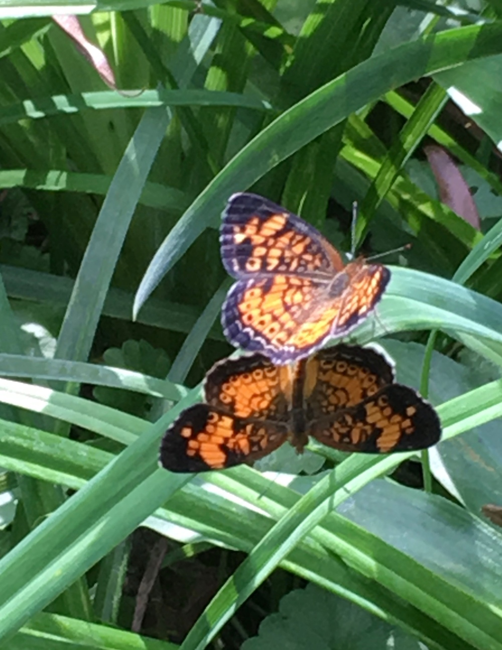 Pearl Crescent Butterfly Phyciodes tharos