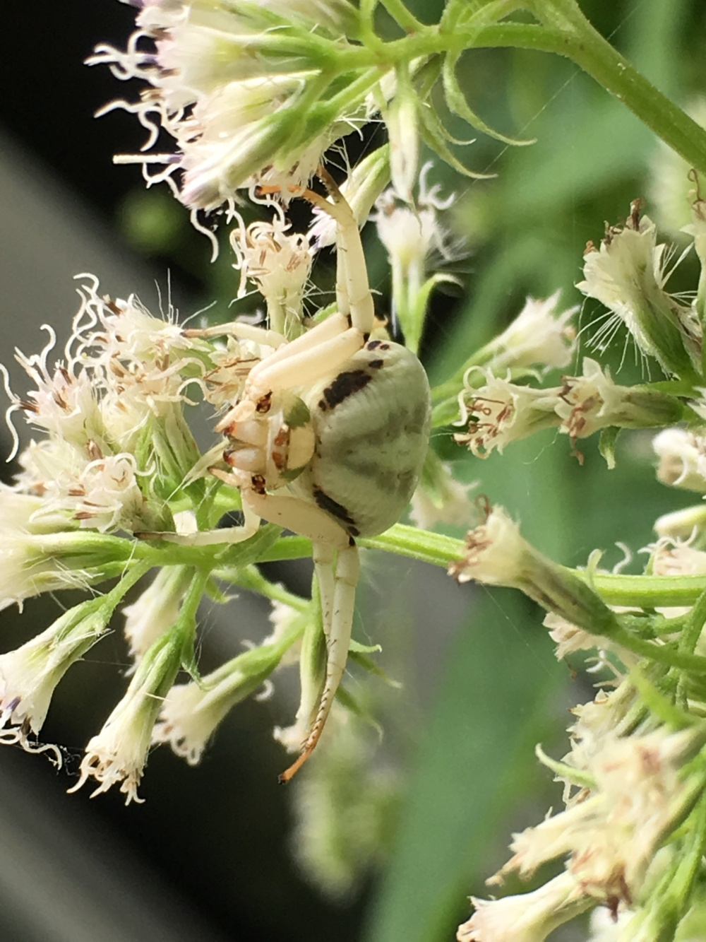 Whitebanded Crab Spider Misumenoides formosipes
