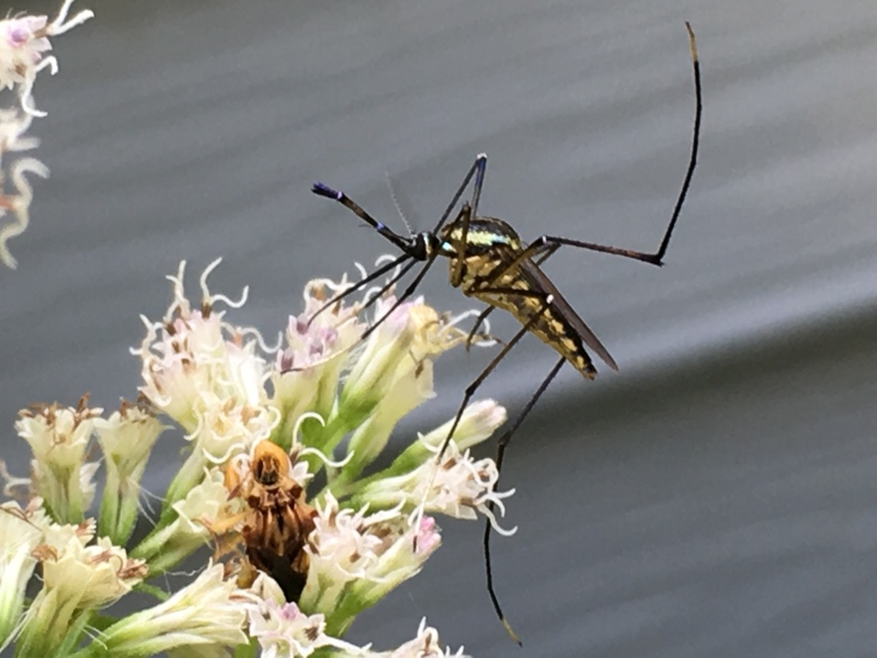Ambush Bug with Mosquito