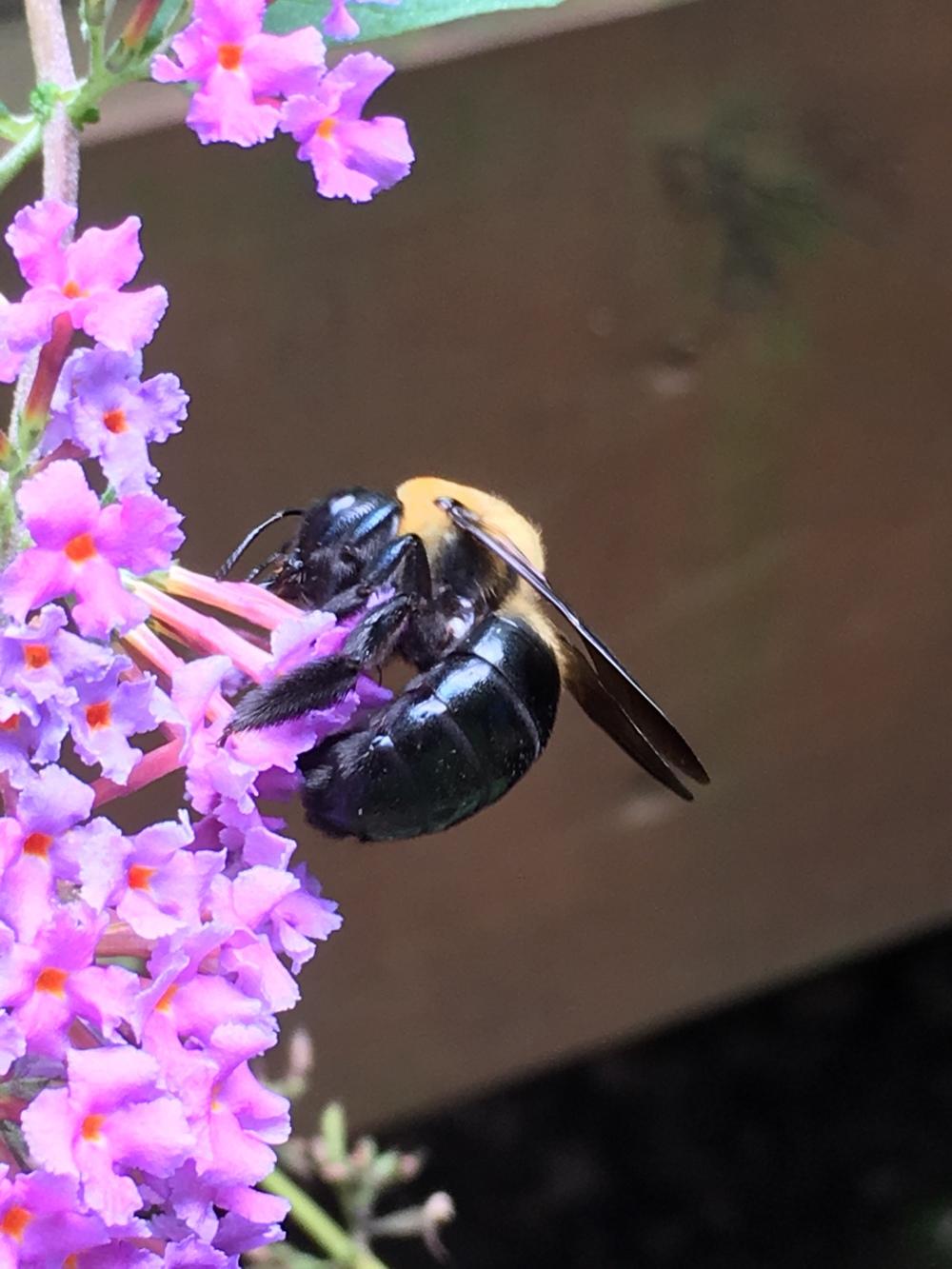 Xylocopa virginica
