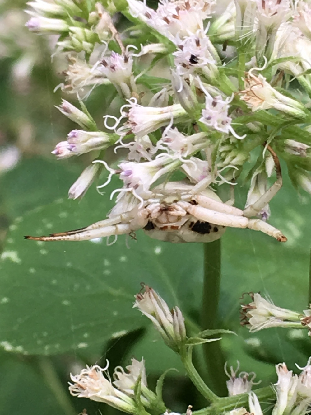 Whitebanded Crab Spider Misumenoides formosipes 2