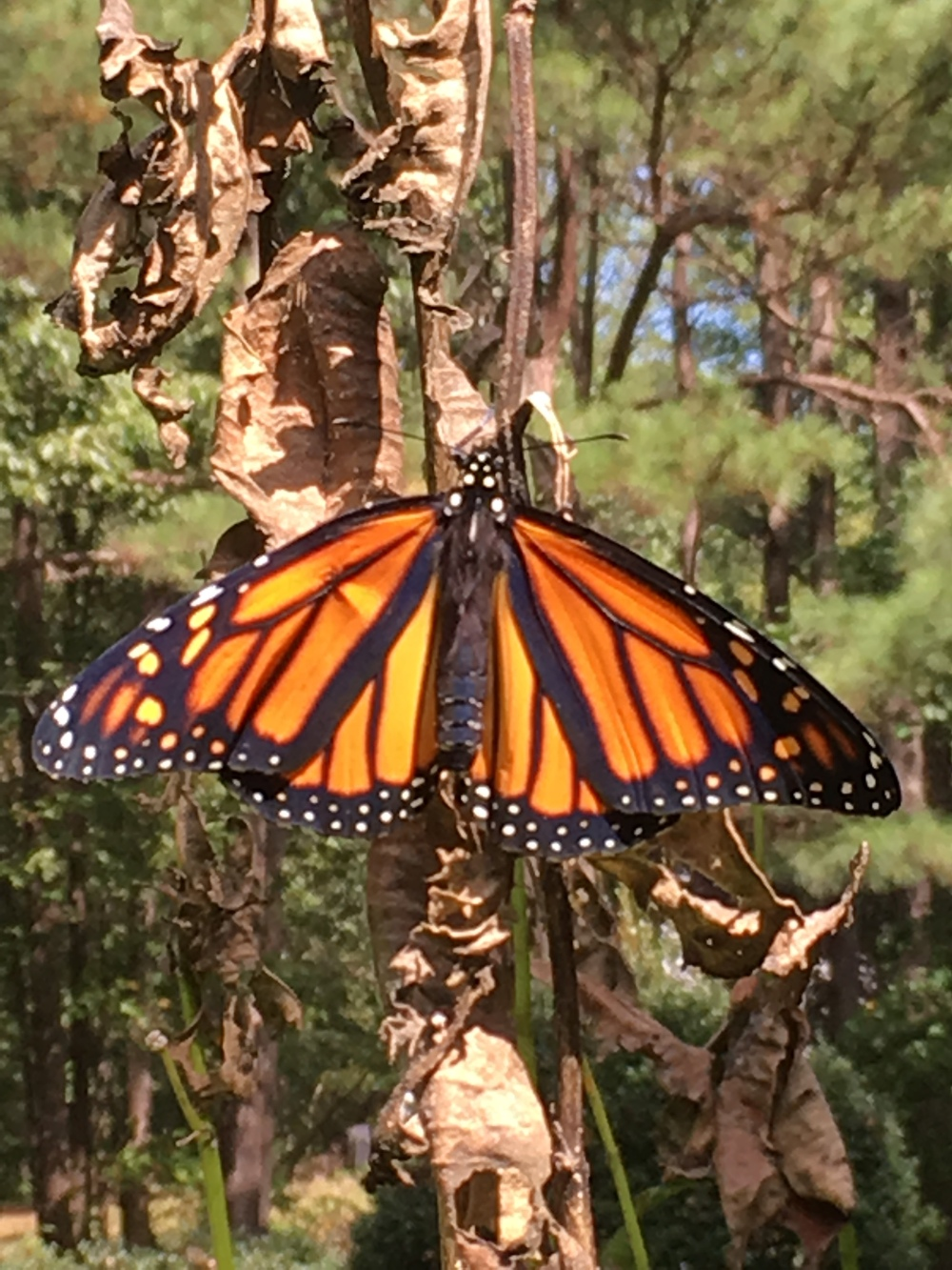 Monarch Butterfly Danaus plexippuss