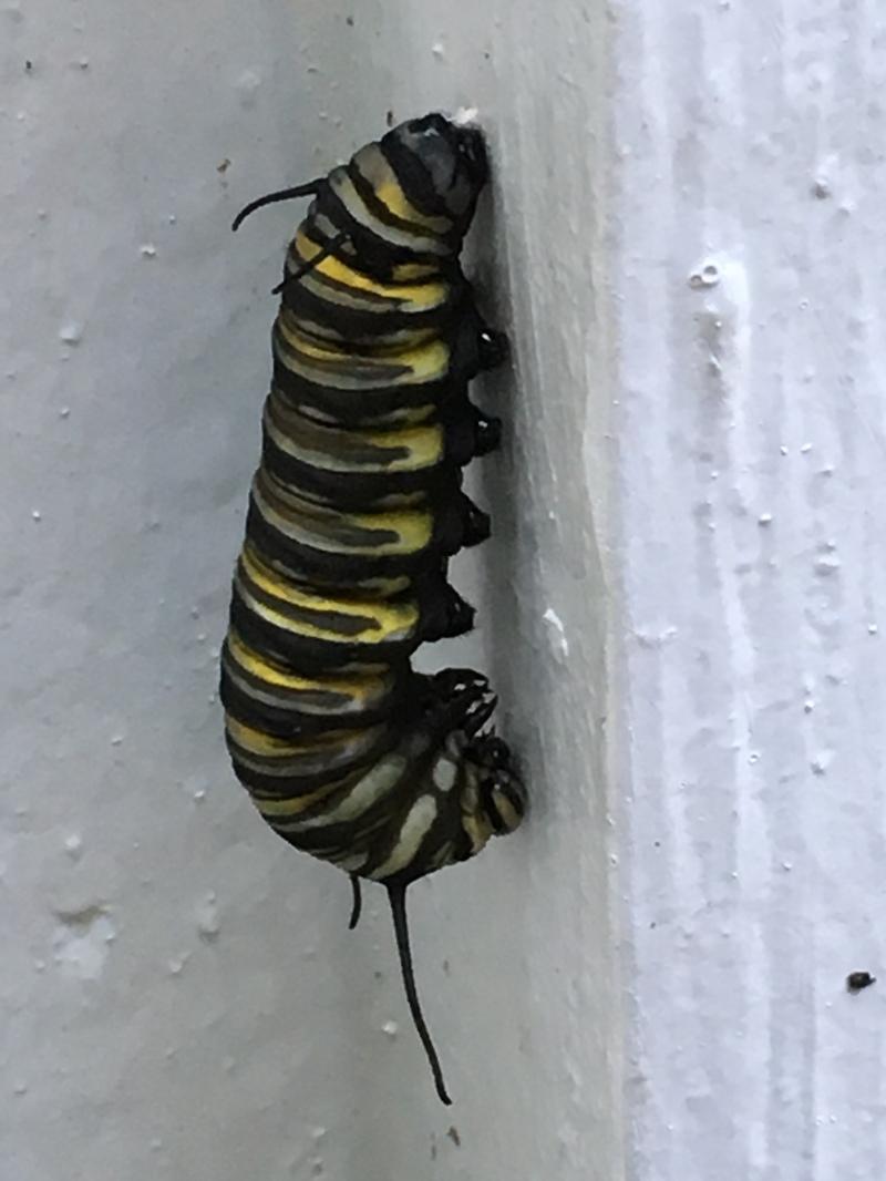 Monarch Butterfly Danaus plexippuss caterpillar in J shape