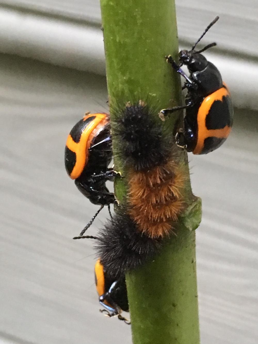 Woolly Bear Pyrrharctia isabella (Isabella Tiger Moth)