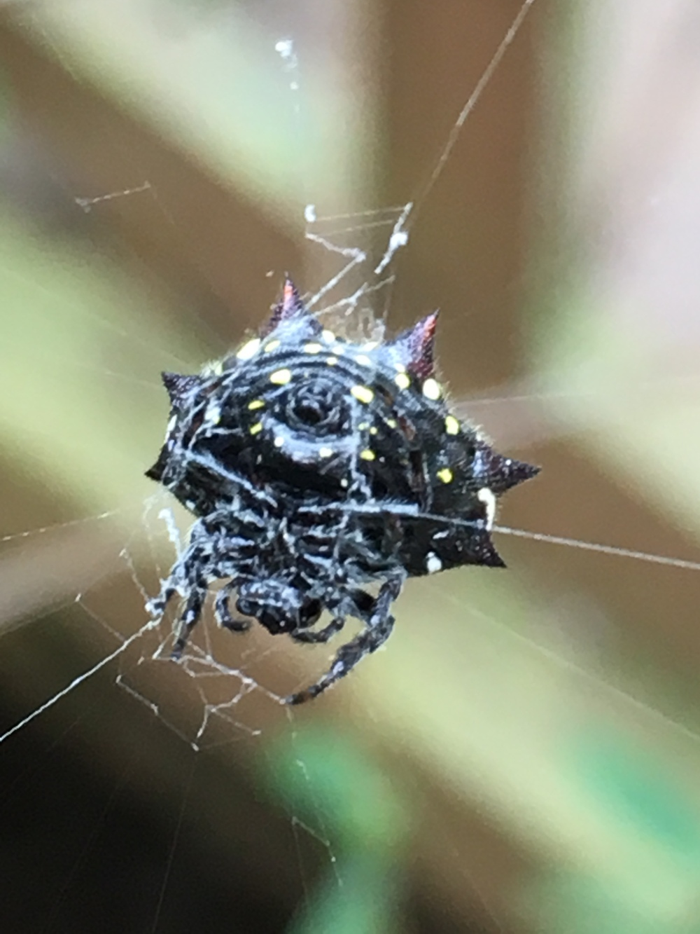 Spinybacked Orbweaver Spider Gasteracantha cancriformis