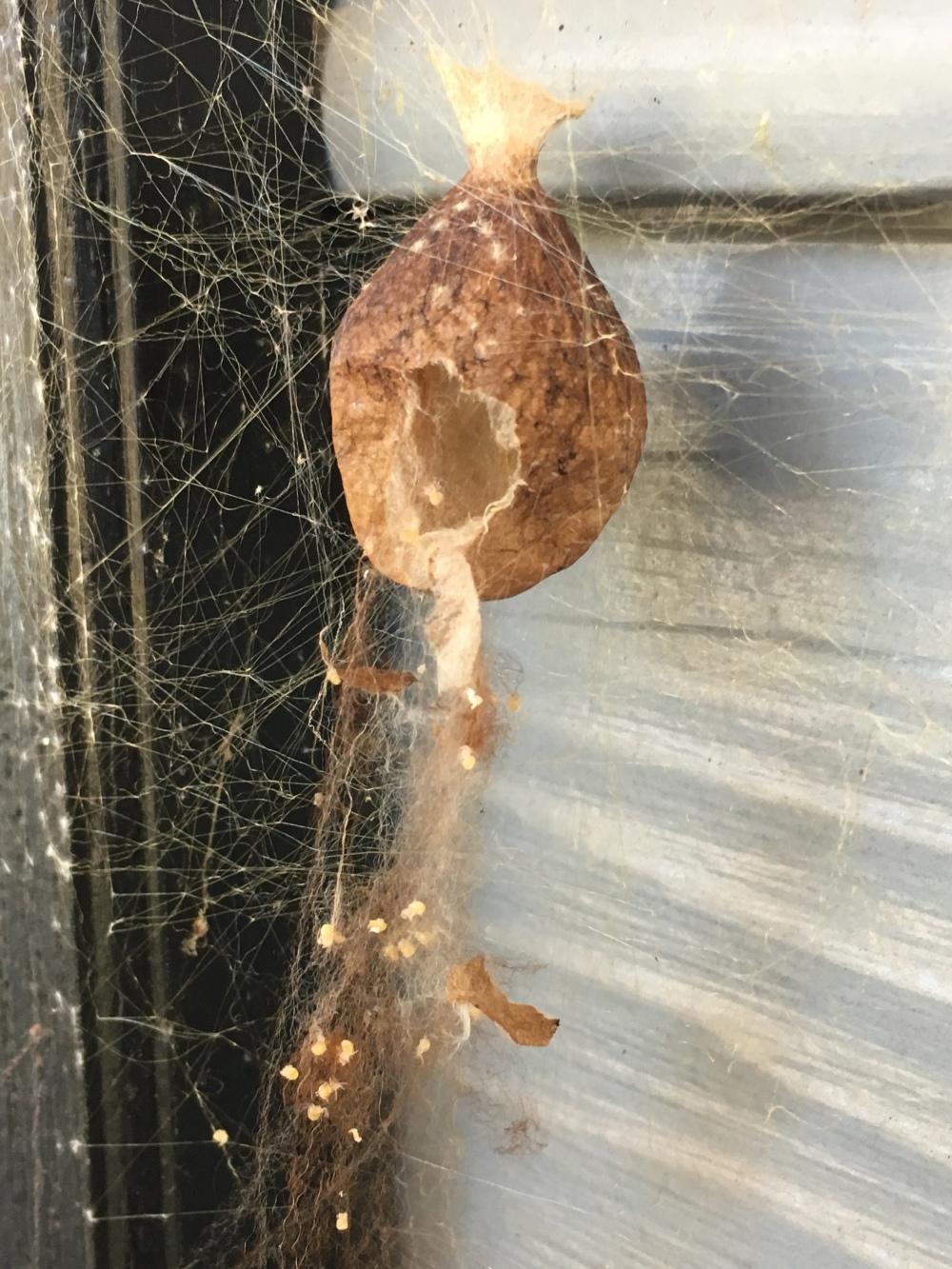 Yellow Garden Spider Argiope aurantia